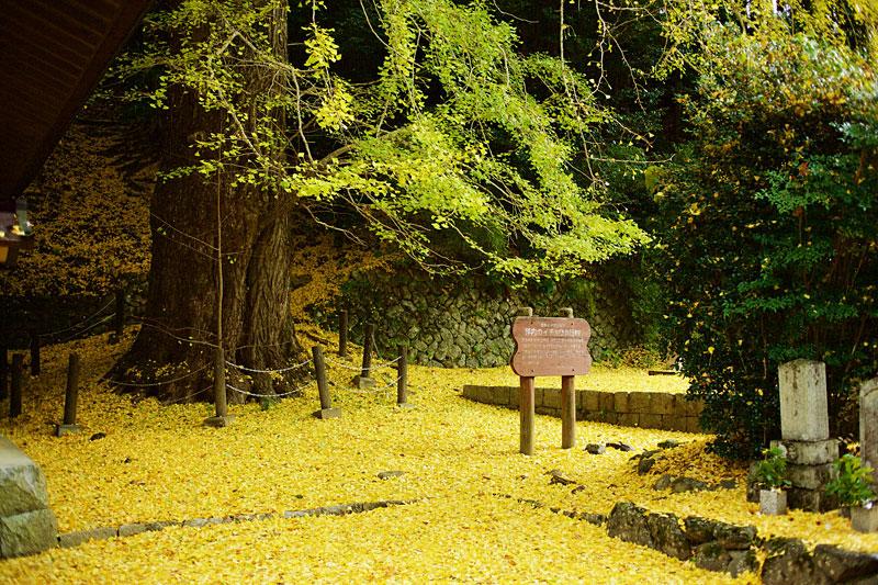 来迎院の大銀杏:天河大辨財天社を詣でた弘法大師が植えたといわれている、直径2mをこえるイチョウの大木です。紅葉の季節には写真のようにあたりいちめんが黄色いじゅうたんに!